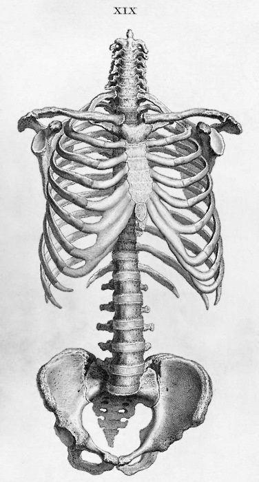 Illustration de la cage thoracique, de la colonne vertébrale et du bassin