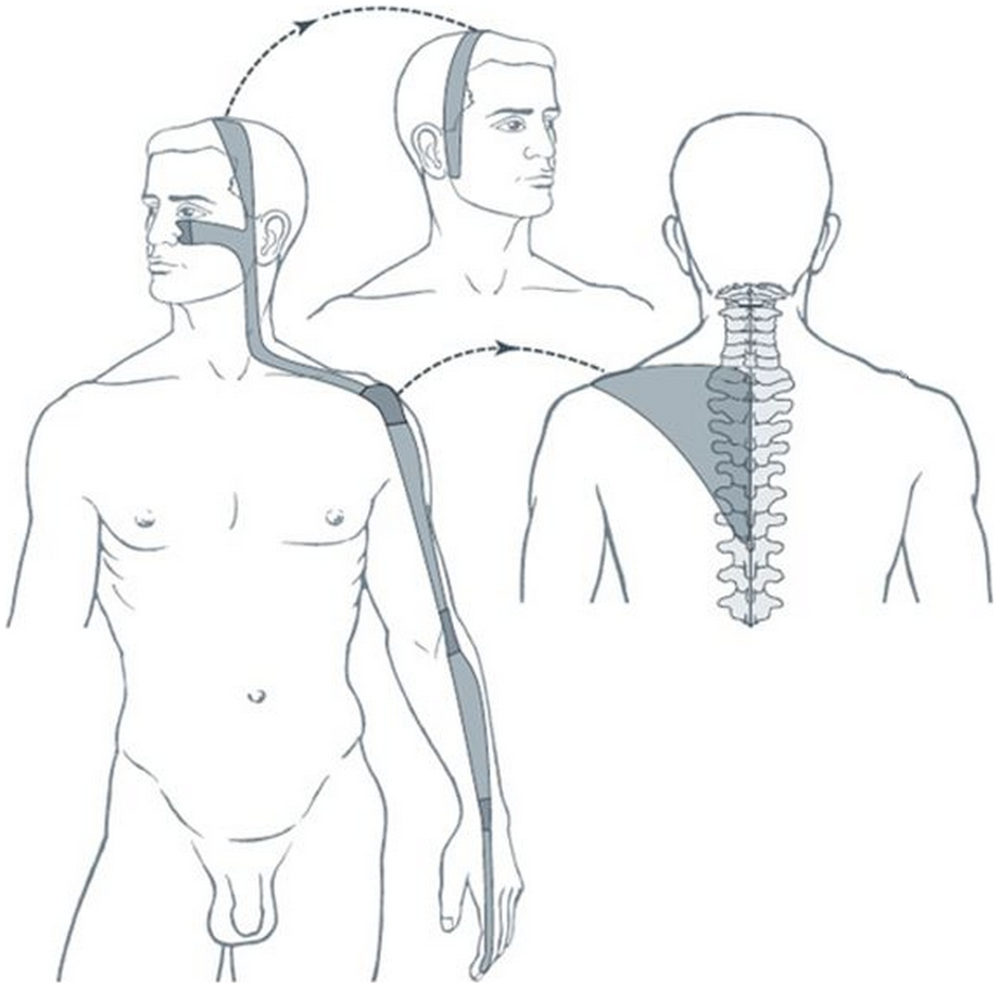 Illustration du méridien tendino-musculaire du gros intestin