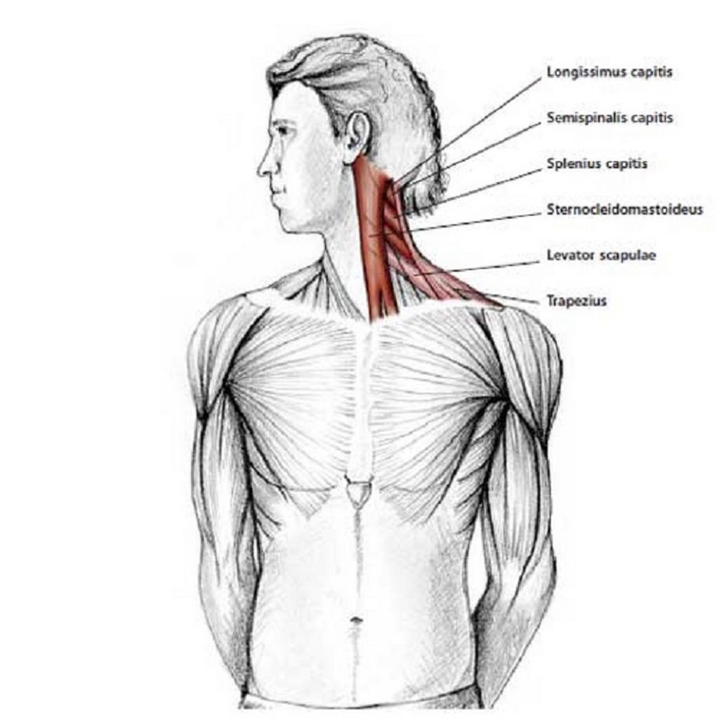 Illustration anatomique de l'étirement du cou en rotation