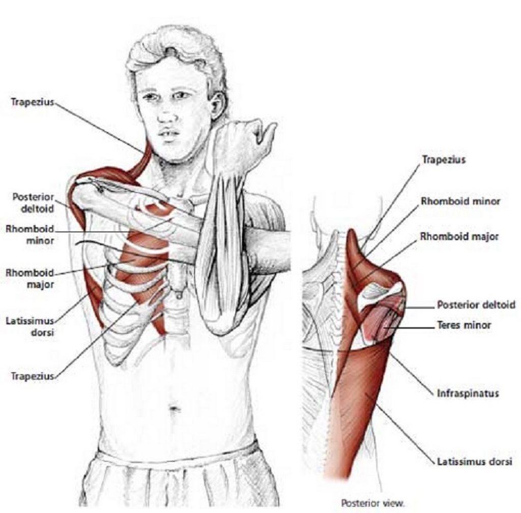 Illustration anatomique de l'étirement des épaules, bras parallèle