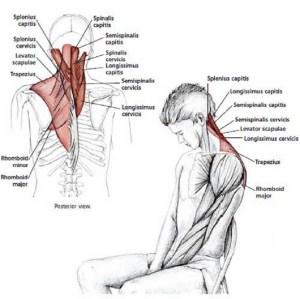 Illustration anatomique de l'étirement du cou en flexion, assis