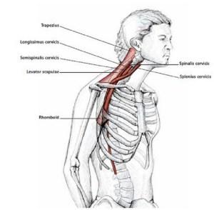 Illustration anatomique de l'extension du cou en protraction