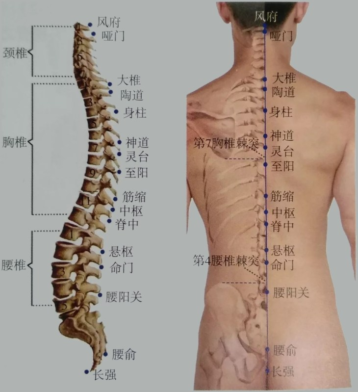 Illustration de la  colonne vertébrale et du vaisseau gouverneur