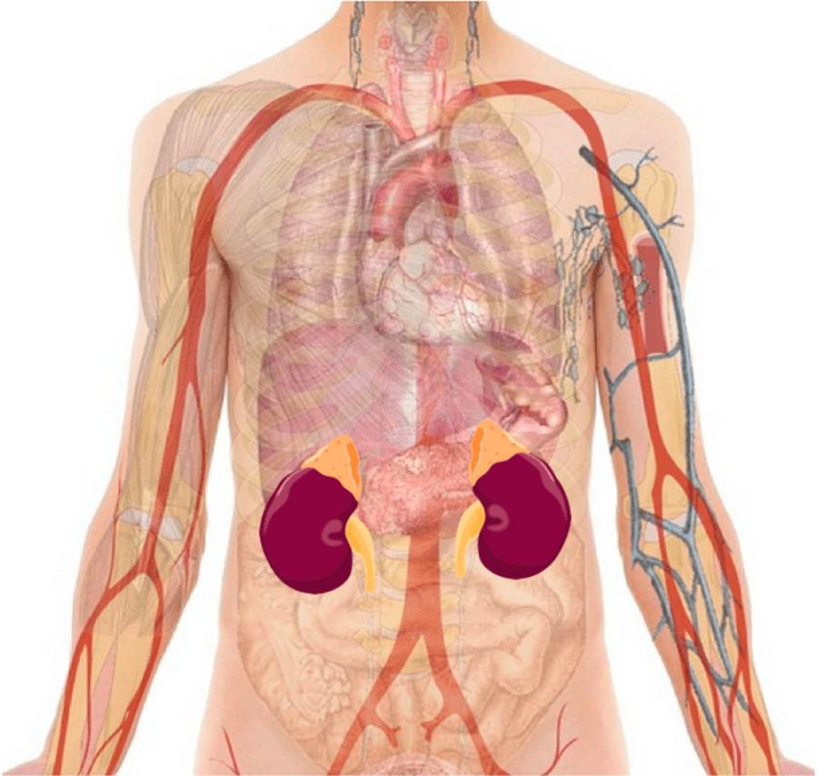 Illustration anatomique des reins