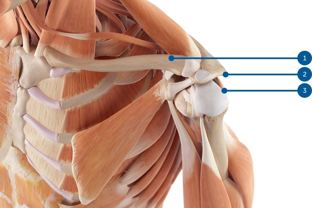 Illustration de l'anatomie de l'épaule : clavicule, acromion, supraspinatus