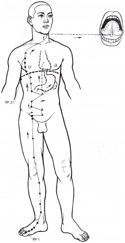 Illustration du méridien de la rate