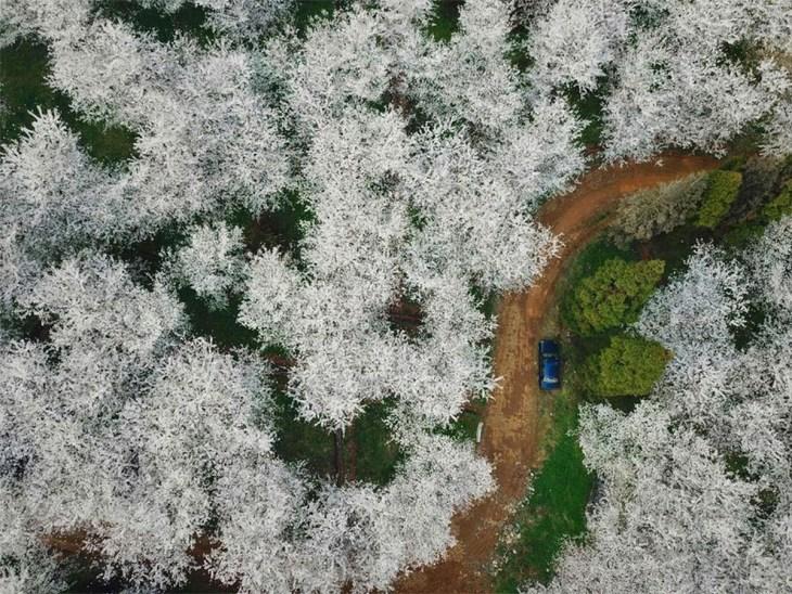 Le printemps transforme la Chine en mer de fleurs, Cecilia Zhang
