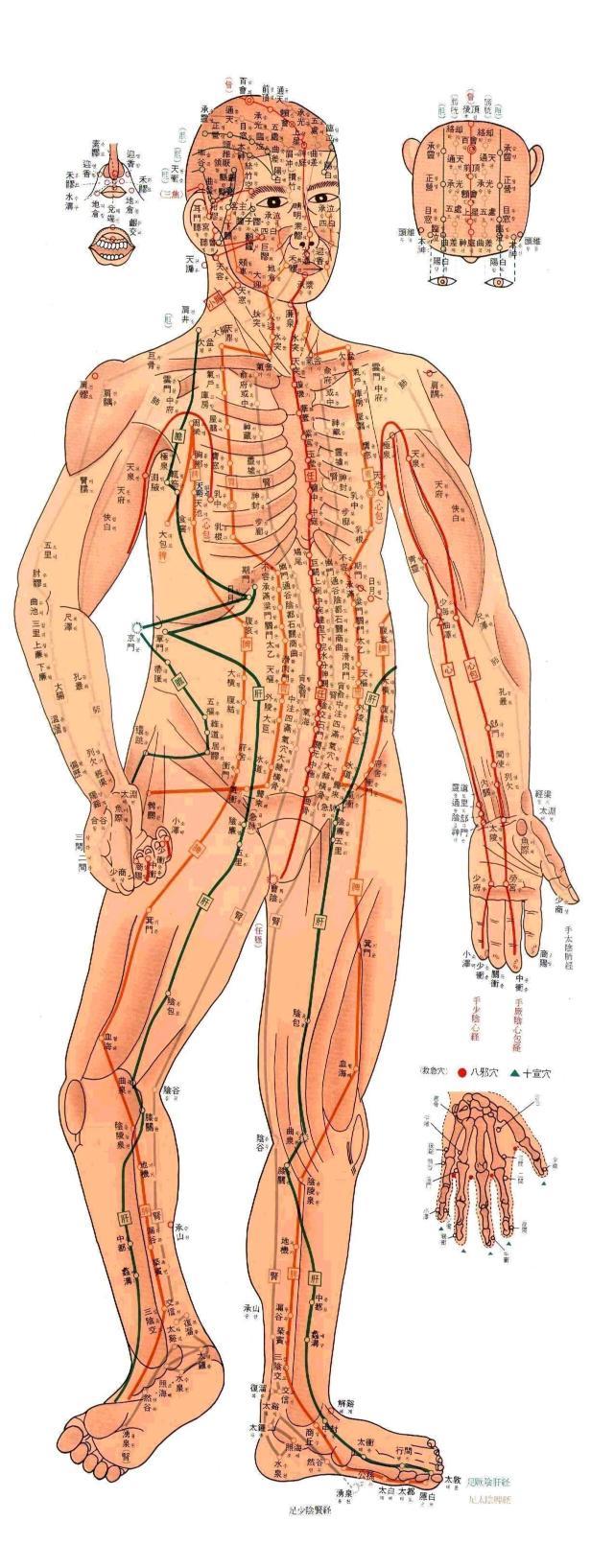 Points d'acupuncture localisés sur la face yin du corps