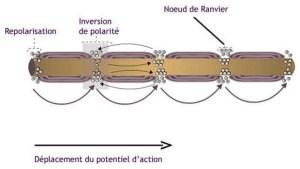 Schémas de la conduction saltatoire