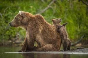 Ours brun du Kamtchatka, photographie d'Andy Parkinson