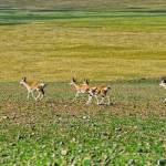 Burang county wild animal