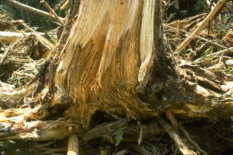 Armillaria ostoyae root disease