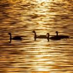 Canada Geese - Angela Eade
