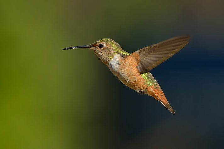 Female Humming Bird (1) - Robert Thayer
