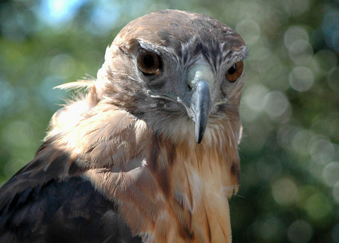 Red Tailed Hawk - Robert Thayer