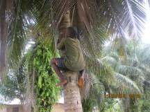 How to climb a coconut tree?