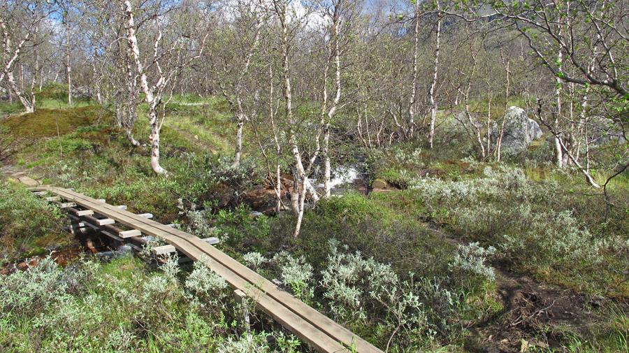 Auf dem typischen Holzsteg durch den Birkenwald