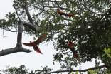 Rote Aras