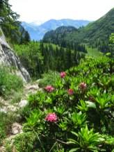 Alpenrosen am Strüssligrat
