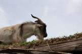 Goats on a Roof