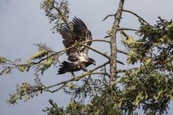 Weisskopfseeadler (Jungtier)
