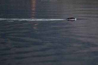 Ein Biber schwimmt früh morgens vor unserem Stellplatz vorbei