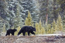Bears_in_a_Snowstorm