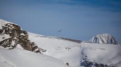 Bartgeier im alpinen Lebensraum