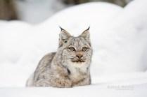 Kitten_Eyes