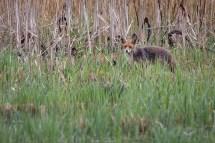 Auch ein (pitschnasser) Fuchs zeigte sich plötzlich am Ufer