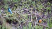 Eisvogel-Paar. Links das Weibchen, rechts das Männchen