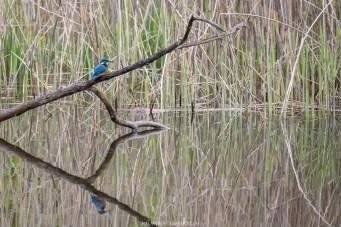 Eisvogel spiegelt sich im See