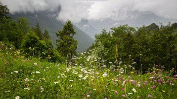 Wildblumenwiese - ihr scheint der viele Regen gut zu bekommen