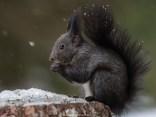 Eichhörnchen im Schnee, Graubünden