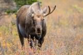Junger Elchbulle (Alaska)