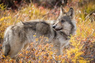 Wolf (Kanada)