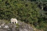 Mountain Goat (Alaska)