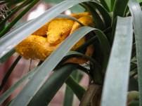 Lanzenotter (Costa Rica)