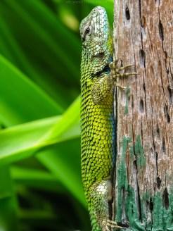 Malachit-Stachelleguan (Costa Rica)