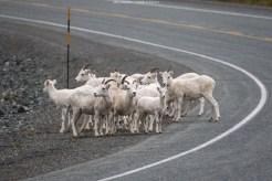 Die Schafe überqueren den Highway, um zum Seeufer zu gelangen