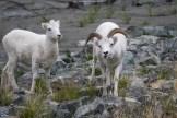 Das Chef-Schaf