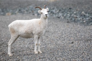 Selbstbewusstes Dall Sheep