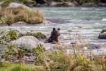 Bär im Fluss