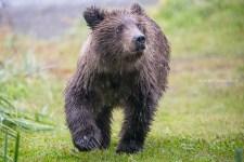 Bär im Regen (Alaska)