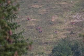 Zwei Stiere buhlen um die drei Hirschkühe