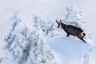 Eine Gämse kämpft sich durch den Schnee
