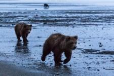 Bären morgens am Strand