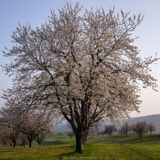 Ein prächtig blühender Baum