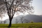 Sonnenstern im Kirschbaum