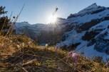 Krokusblüte im Berner Oberland